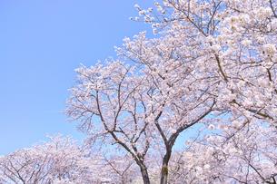 ふんわり感のある満開の桜の木の写真素材 [FYI00895004]
