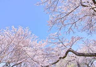 ふんわり感のある満開の桜の木の写真素材 [FYI00895006]