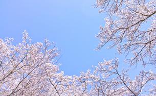 ふんわり感のある満開の桜の木の写真素材 [FYI00895008]