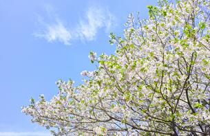 山桜の写真素材 [FYI00895010]