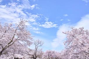 ふんわり感のある満開の桜の木の写真素材 [FYI00895012]