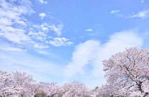 ふんわり感のある満開の桜の木の写真素材 [FYI00895015]