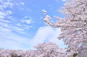 ふんわり感のある満開の桜の木の写真素材 [FYI00895017]