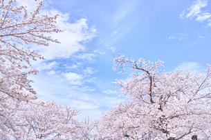 ふんわり感のある満開の桜の木の写真素材 [FYI00895018]