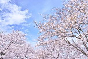 ふんわり感のある満開の桜の木の写真素材 [FYI00895020]