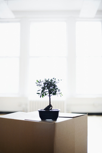 Bonsai tree on cardboard boxの素材 [FYI00899505]