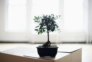 Bonsai tree on cardboard boxの素材 [FYI00899530]