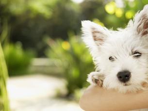 Arm around poodle (close-up)の素材 [FYI00899757]