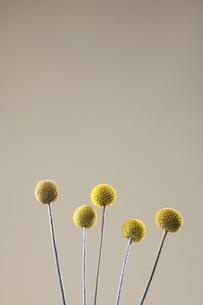 Yellow ball-shaped flowersの素材 [FYI00900087]