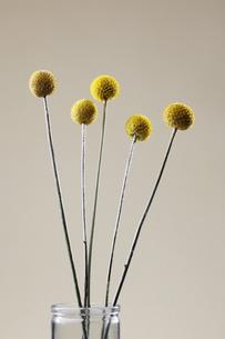 Yellow ball-shaped flowersの素材 [FYI00900124]