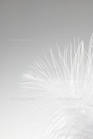 Single white featherの素材 [FYI00901561]