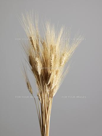 Studio Shot of Bunch of Wheat Plantsの素材 [FYI00907280]