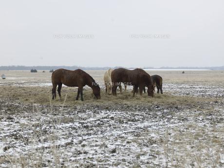 Horses Grazing in Winterの素材 [FYI00907418]