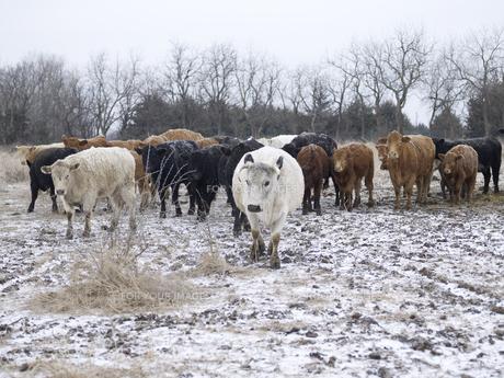 Herd of Cattle in Winterの素材 [FYI00907499]