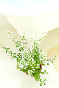 バスタブの側にあるカラミンサの鉢植えの素材 [FYI00914767]