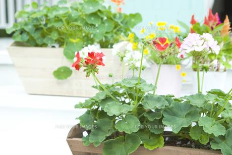 花壇に置いたゼラニウムとナスタチュームの鉢の素材 [FYI00914825]