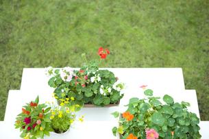 花壇に置いたゼラニウムとナスタチュームの鉢の素材 [FYI00914826]