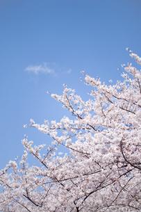 青空とソメイヨシノの素材 [FYI00916254]