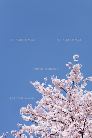 青空とソメイヨシノの素材 [FYI00916314]