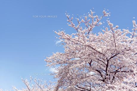 青空とソメイヨシノの素材 [FYI00916318]