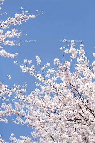 青空とソメイヨシノの素材 [FYI00916326]