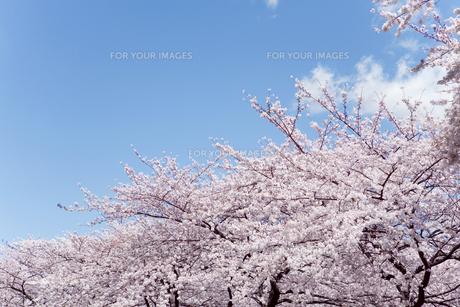 青空とソメイヨシノの素材 [FYI00916363]