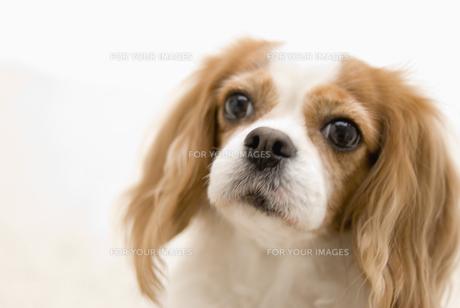 キャバリア犬の素材 [FYI00917516]