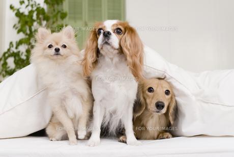 ソファに座る3匹の犬の素材 [FYI00917586]