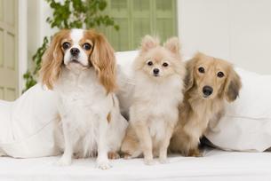 ソファに座る犬達の素材 [FYI00917688]