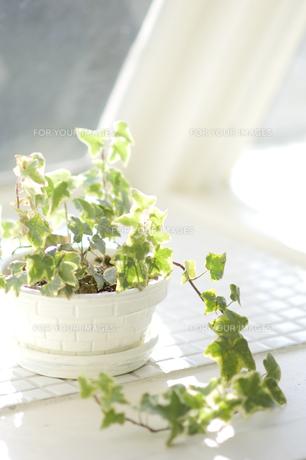 日が差す窓辺に置かれたアイビーの鉢植えの素材 [FYI00920015]