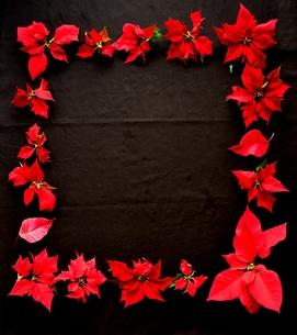 赤いポインセチアのフレーム 黒背景の写真素材 [FYI00920667]