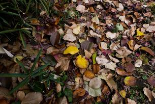 枯れ葉の写真素材 [FYI00920984]
