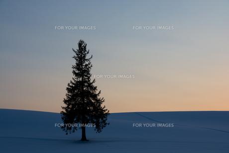 冬の夕暮れの丘とマツの木 美瑛町の写真素材 [FYI00921433]