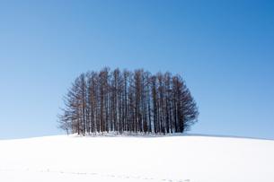 雪の丘の上のカラマツ林 美瑛町の写真素材 [FYI00921436]