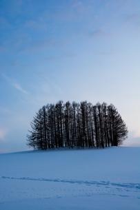 雪の丘の上のカラマツ林 美瑛町の写真素材 [FYI00921443]