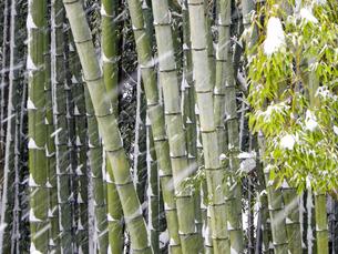 竹林に降る雪の写真素材 [FYI00921579]