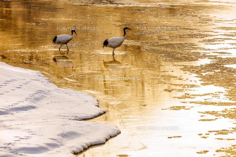 冬の朝の丹頂鶴の写真素材 [FYI00921596]
