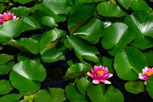 蓮の葉と花の写真素材 [FYI00923334]