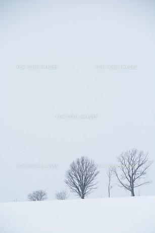雪の丘に立つ冬木立 美瑛町の写真素材 [FYI00923391]