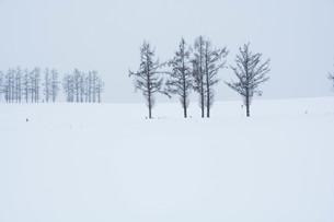 雪の丘とカラマツ並木 美瑛町の写真素材 [FYI00923392]