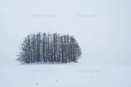 雪の丘とカラマツ林 美瑛町の写真素材 [FYI00923393]
