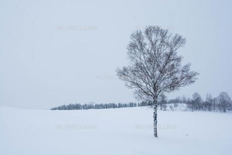 雪の丘に立つ冬木立 美瑛町の写真素材 [FYI00923394]