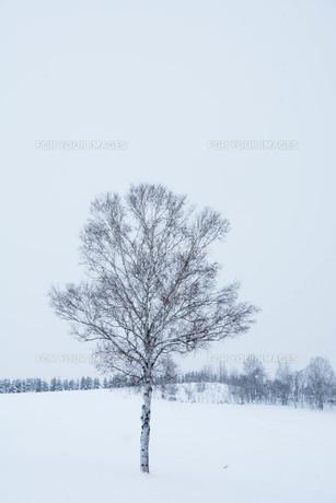 雪の丘に立つ冬木立 美瑛町の写真素材 [FYI00923395]