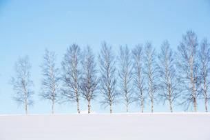 冬の青空とシラカバ並木 美瑛町の写真素材 [FYI00923399]