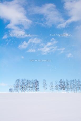 冬の青空とシラカバ並木 美瑛町の写真素材 [FYI00923400]