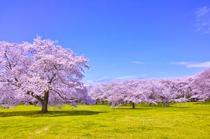 満開の桜の写真素材 [FYI00923445]