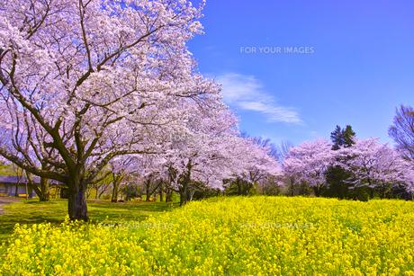 満開の桜と菜の花の写真素材 [FYI00923448]