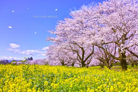満開の桜と菜の花の写真素材 [FYI00923452]