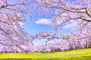 満開の桜の写真素材 [FYI00923457]