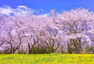 満開の桜並木と土手の写真素材 [FYI00923458]